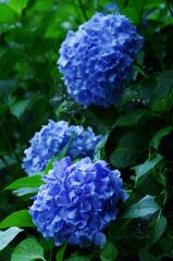 紫陽花2013(5)