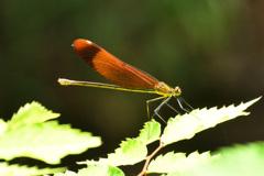 ミヤマカワトンボ(雌)