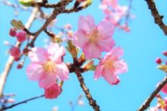 河津桜(見返りの滝/相知)
