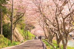 庭木ダムの桜トンネル