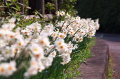 道端の春 ニホンズイセン