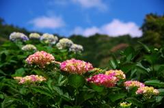 紫陽花と青空と