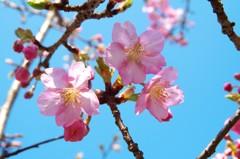見帰りの滝 河津桜
