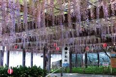 藤の花 樹齢140年 唐津城