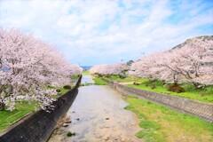 半田川の桜並木