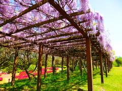 藤の花(鏡山)