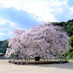 衣干山の百年桜