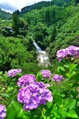 紫陽花と観音の滝