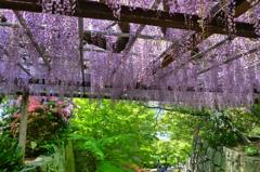唐津城藤の花8