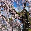 麻績の里 舞台桜<2009>