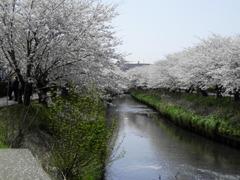 桜 海老川