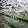 桜 海老川  2