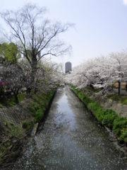 桜 海老川 3