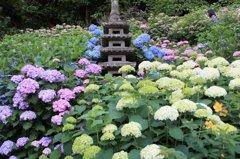 鎌倉長谷寺の紫陽花だより(その7)