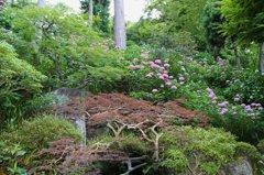 鎌倉長谷寺の紫陽花だより(その9)