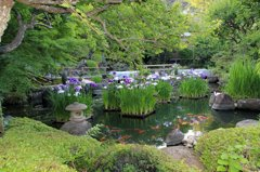 鎌倉長谷寺の紫陽花だより(その2)