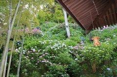 鎌倉長谷寺の紫陽花だより(その10)