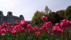 Tulipa16