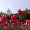 Tulipa17