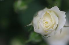 大好きな白い薔薇..