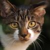キジトラ白猫