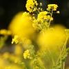 庄内緑地公園の菜の花