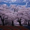 残雪に 映える桜の 懐かしき