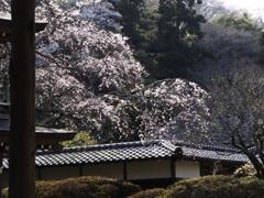 鎌倉花姿(浄智寺)