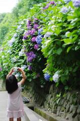 カメラ女子 AT 成就院 鎌倉紫陽花開花情報