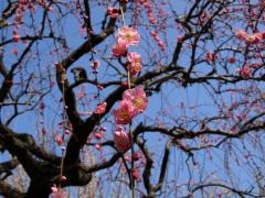 早春の空に咲く梅花(4)