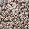 早春の梅花(1)