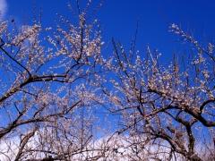 早春の空に咲く梅花(2)