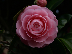 開花直前の美