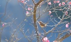 新春のオジロビタキ