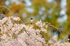 桜とオオルリ