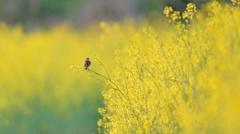 菜の花とノビタキ