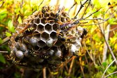 夜に強襲? アシナガバチの巣-2