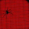 spider : red