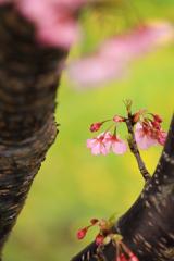 南伊豆の河津桜