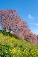 南伊豆の河津桜と菜の花