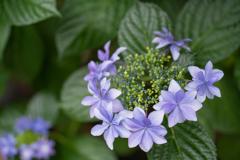 雨と紫陽花と新しいレンズ
