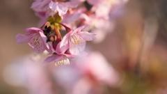 夕方の河津桜