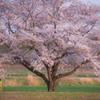 桜の樹に見守られて