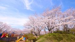 印旛沼公園の桜