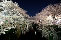 夜桜 2011