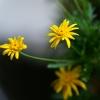 キク科の植物