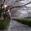 桜吹雪に染まる道