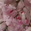 枝垂れ桜 3(栃木県 つがの里)