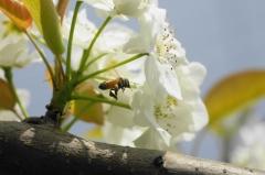 梨の花とミツバチ