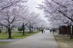木場潟公園 桜並木